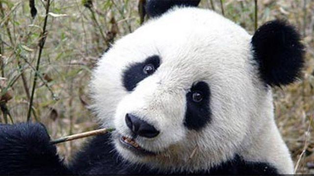 Olfato para negocios: empresa transforma caca de panda en pañuelos de papel