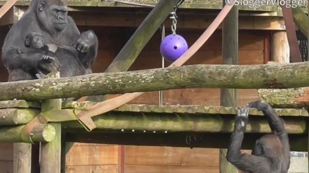 Lopes, el gorila que quiere recuperar el amor de su madre