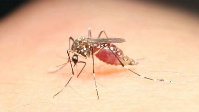 Hay invasión de mosquitos pero no son los que transmiten enfermedades