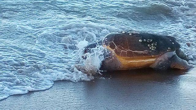 Aparece una gran tortuga marina muerta en playa mansa de Punta del Este
