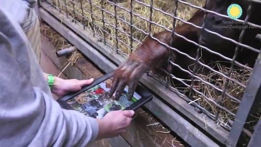 Tinder para orangutanes, nueva experiencia para evitar su extinción