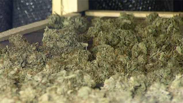 Incautan más de 800 plantas de cannabis y dos contenedores de cogollos