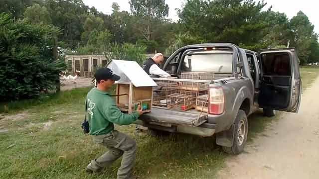 DINAMA liberó medio centenar de aves incautadas a un cazador en Rocha