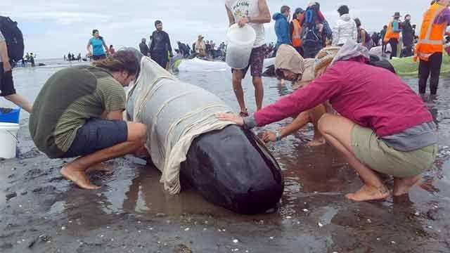300 ballenas mueren en Nueva Zelanda, el mayor incidente del milenio