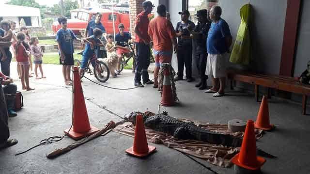 Así capturaron en Rocha a un yacaré de más de dos metros
