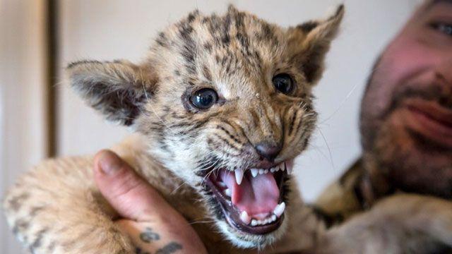 Zar, el bebé cruza de un león y una tigresa, que nació en un zoo de Rusia