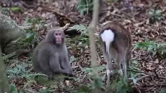 Divulgan video de un mono y una cierva en inusual actitud sexual