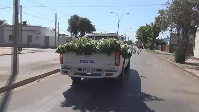 Tenía permiso para cultivar 6 plantas de marihuana, pero le incautaron 100