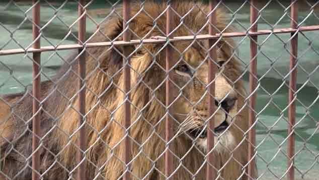 """Murió el león """"Tito"""" horas antes de ser trasladado a una reserva en EE.UU."""