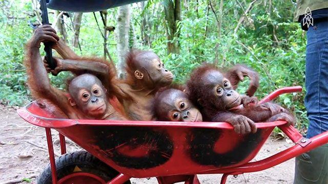 Dos crías de orangután se salvaron de los traficantes gracias a WhatsApp