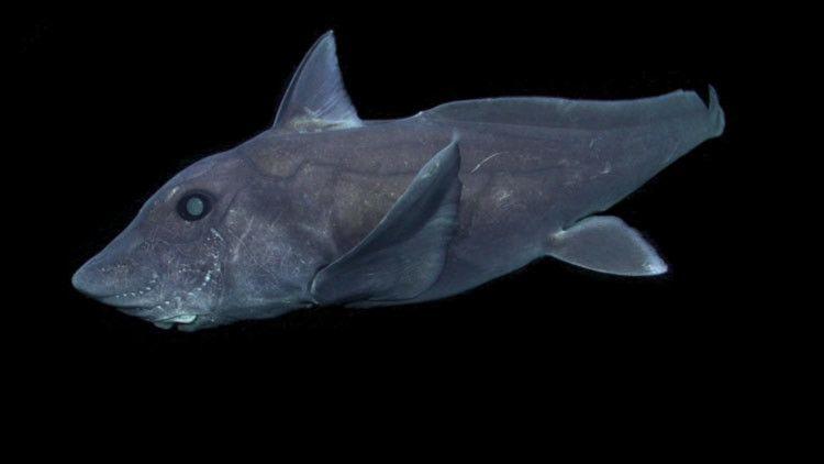 VIDEO. Graban por primera vez al legendario tiburón fantasma