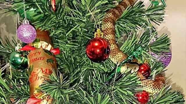 Encontró una serpiente venenosa entre las guirnaldas del árbol de Navidad