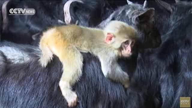 Un bebé mono abandonado fue adoptado por un rebaño de cabras