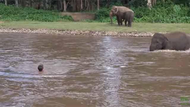 Elefante se tiró al agua para salvar la vida de su cuidador