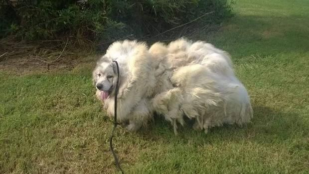 Rescatan perro abandonado y encerrado por 6 años; le quitan 15 kg. de pelo