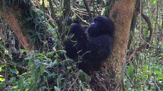 Cuatro especies de monos al borde de la extinción por la caza ilegal