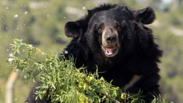 Un hombre de 63 años se salvó de las garras de un oso con golpes de kárate