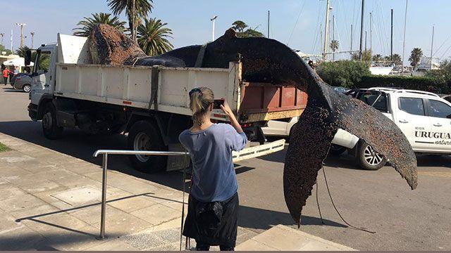Así sacaron y trasladaron a la ballena que murió en el puerto del Buceo