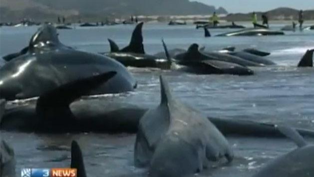 Unas 200 Ballenas Quedaron Varadas En La Costa Neozelandesa