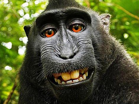 Se estableció quién es el dueño de la selfie del mono