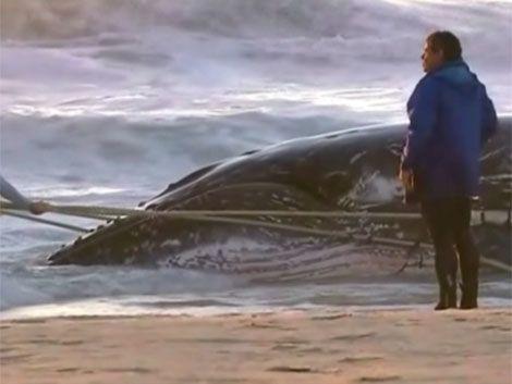 Impresionante rescate de una ballena bebé en Australia