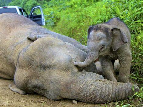 Envenenan a 13 elefantes pigmeo protegidos en Malasia