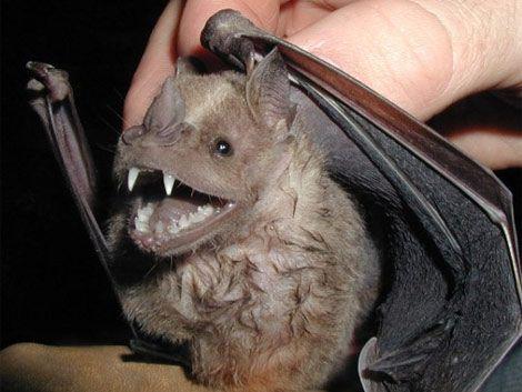 Vacunan perros y gatos por rabia de murciélagos