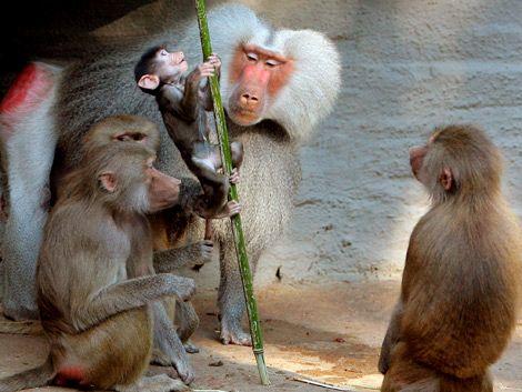 Monos del Parque Lecocq se reproducen sin control