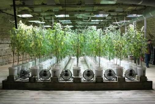 Autocultivo de marihuana: primero fue no rotundo; ahora es sí
