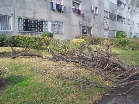 Cayó otro árbol en la vía pública de forma abrupta