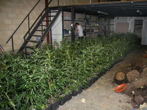 Científicos desarrollan una marihuana que no coloca
