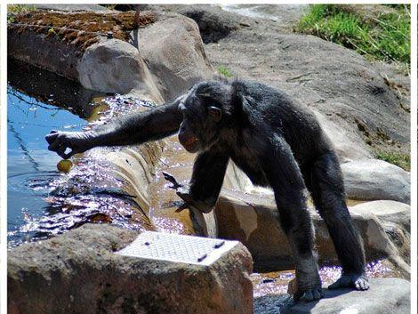 El chimpancé Santino ataca de nuevo con estrategia de engaño