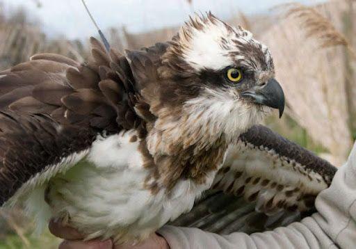 Un águila atacó a una mujer para llevarse a su perra