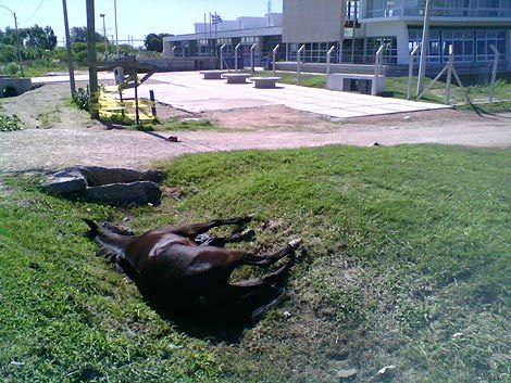 Vecinos reclaman que retiren una yegua muerta de la calle