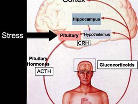 El secreto contra el estrés es una sustancia llamada cortisol
