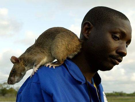 Ratas gigantes invaden la Florida: miden 90 centímetros