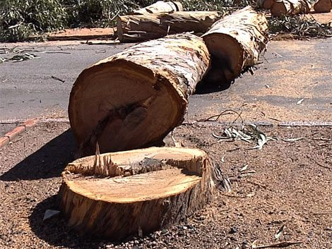 IM retira los eucaliptus añosos de la avenida Buschental