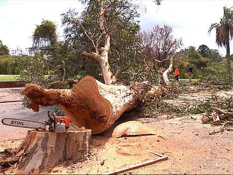 IMM ordenó talar todos los eucaliptus de la avenida Buschental