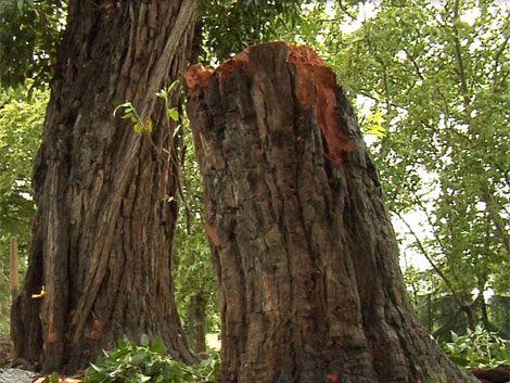 Cayó otro árbol en Carrasco cuando no había nada de viento