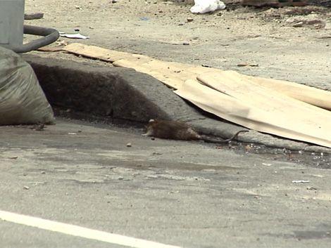 Vecinos del Cordón están alarmados por cantidad de ratas