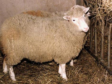 Se cumplen 15 años de la oveja Dolly