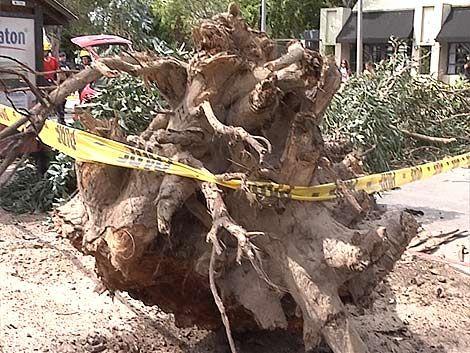 IMM comenzó operativo de extracción de árboles en Carrasco