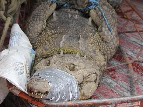 Tenía un cocodrilo de 150 kilos de mascota
