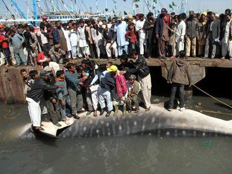 Hallan muerto un tiburón ballena de 12 metros