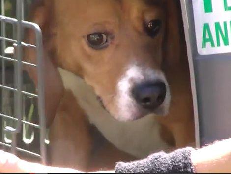 40 perros fueron liberados tras pasar toda su vida en una jaula