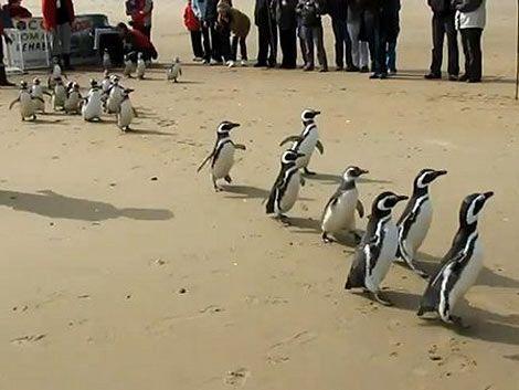 13 pingüinos recuperados tras estar empetrolados volverán al mar