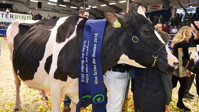 Lady Gaga, la vaca alemana que gana todos los concursos de belleza