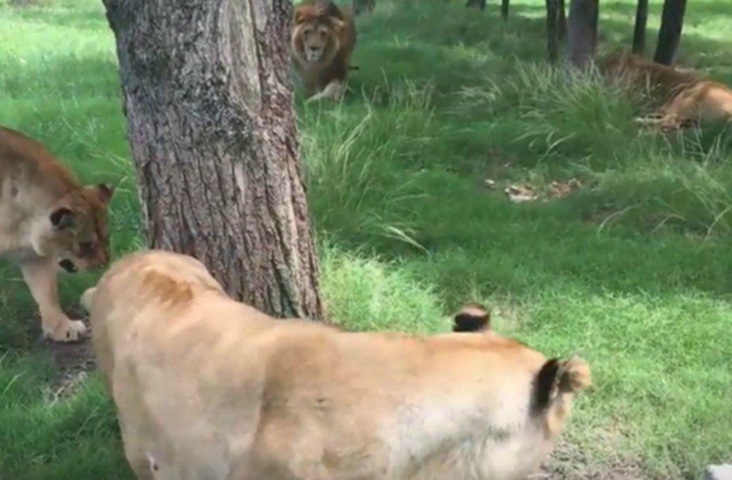 Investigan la muerte de un león en Bioparque de Durazno mientras le ...
