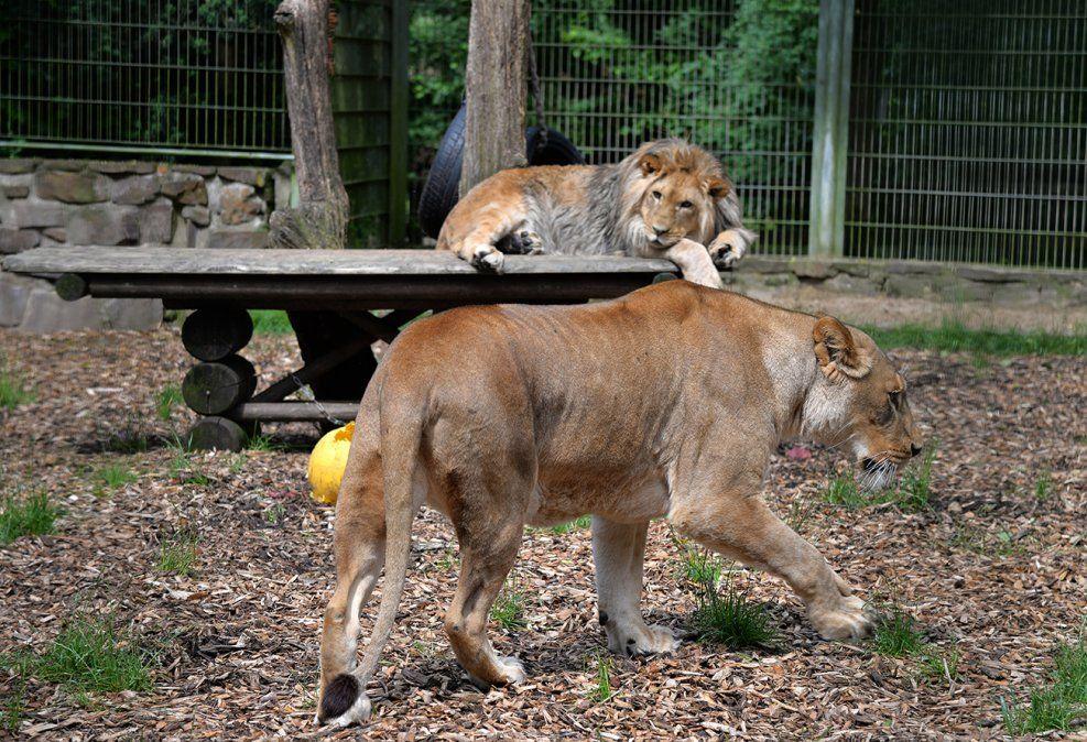 Capturaron a los cinco felinos que se escaparon de un zoo de Alemania