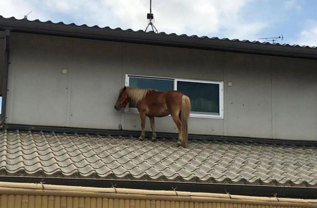 Pequeña yegua que se salvó de las inundaciones subiéndose a un tejado conmueve a Japón